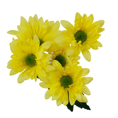 Daisy Yellow Atlantis