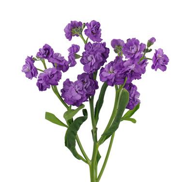 Spray Stock purple