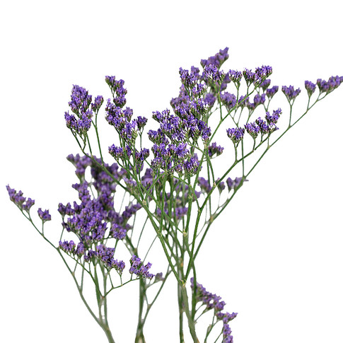 Maine Blue Purple
