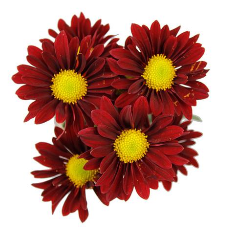 Daisy Chilli Pepper Red