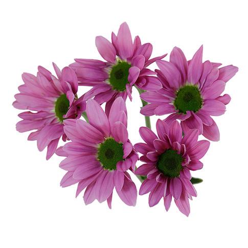 Daisy Pink Rihana