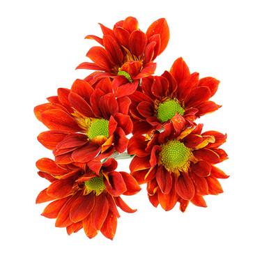 Daisy Managua Dark Orange