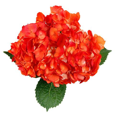 Hydrangea Bicolor Curasao