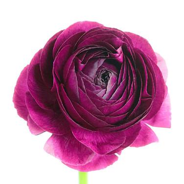 Ranunculas Purple