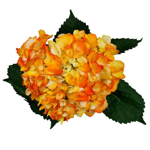Hydrangea Bicolor Sol