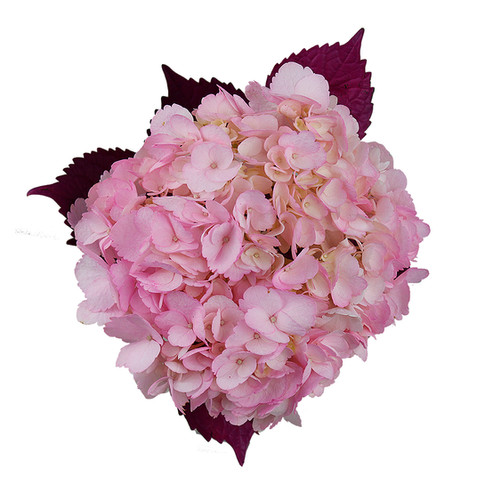 Hydrangea  Novelty Pink