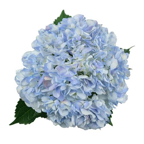 Hydrangea Antique Lavender