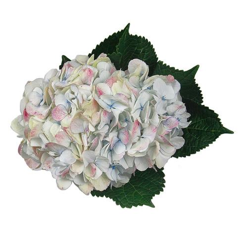 Hydrangea Antique White Small