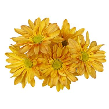 Daisy Candela Orange