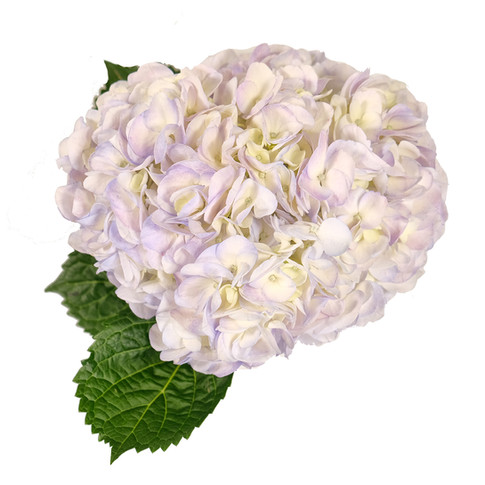 Light Lavender Jumbo