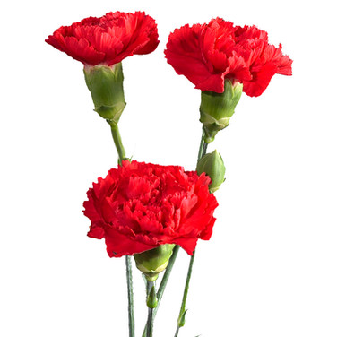 Mini Carnation Rony