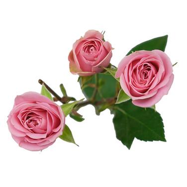 Sweet Sensation Pink