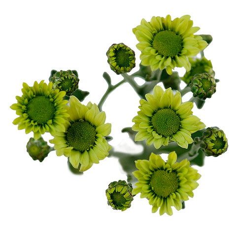 Santini Green Trebol
