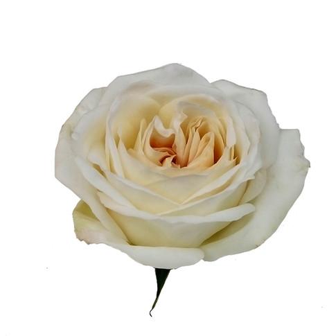 Rose White Ohara