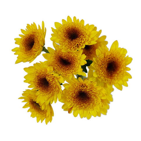 Novelty Yellow Coruna