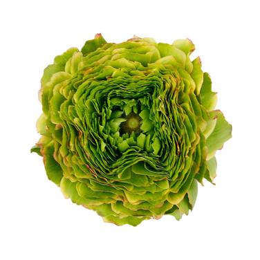 Ranunculus Pon Pon Flora