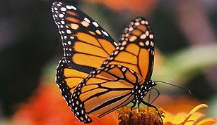 MonarchButterfly_.jpg