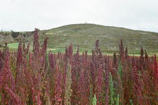 Quinoa Fields