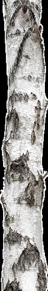 birch1.png