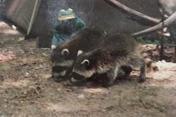 racoonbabies