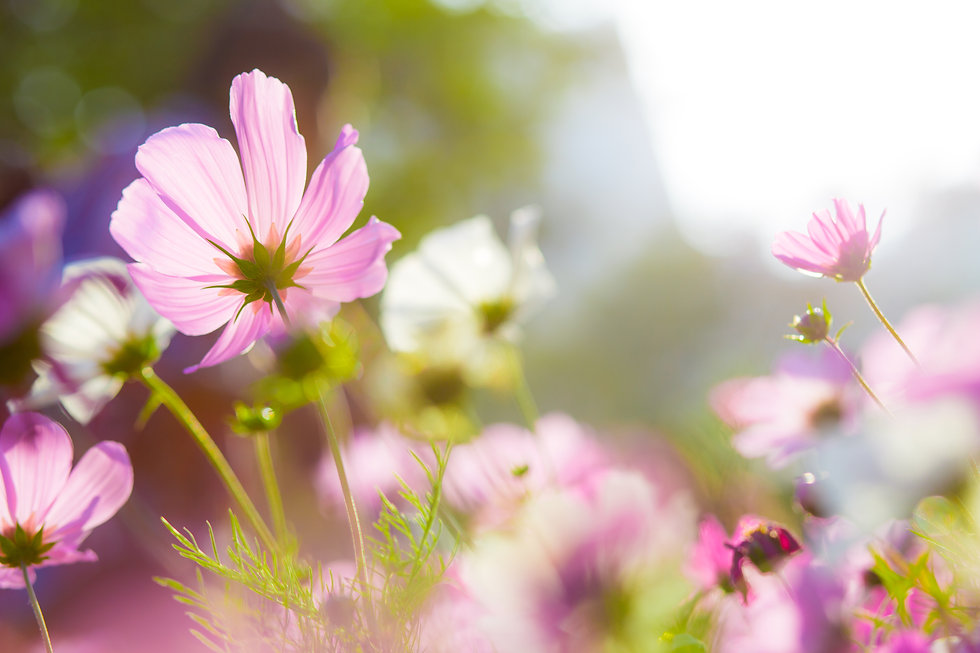 cosmos-flower-field-with-sunshine-NFANJR