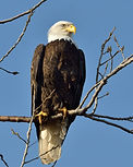 RV1_1382_Bald Eagle_Cane Ridge.jpg
