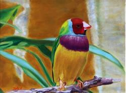 """""""Gouldian Finch"""""""