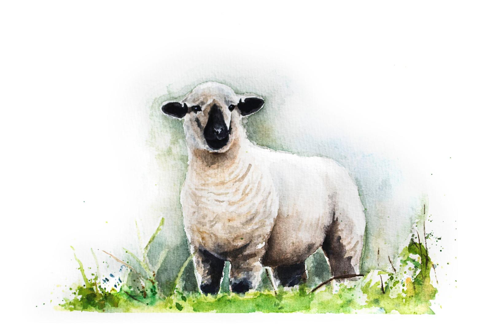 sheep hampshire.jpg