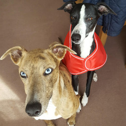 Pointy Faces Whippet Winter Coat Red