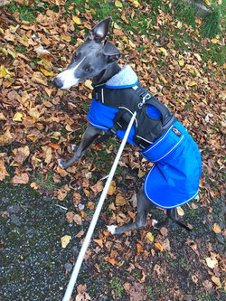 Whippet Coat blue UK wilbur by Pointy Fa