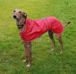Pointy Faces Lurcher and Greyhound Red Raincoat