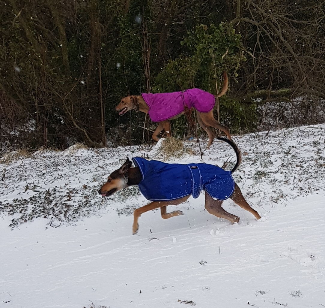 Pointy Faces Lurcher and Greyhound Winter Coats