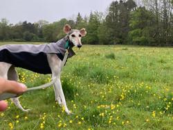 Sighthound Martingale Collar and Jacket