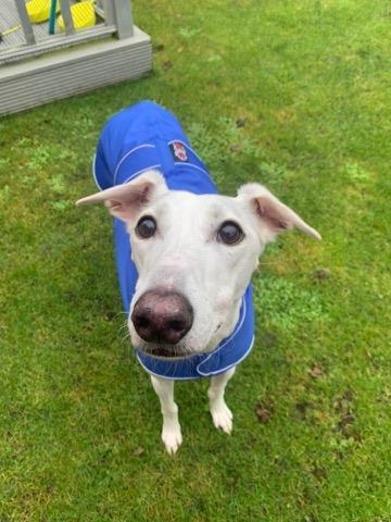 Pointy Faces Sighthound Coat UK