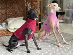Italian Greyhound Under Vests