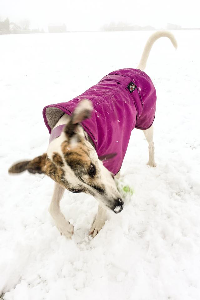 Pointy Faces Lurcher Greyhound Winter Coat Cerise Elsa