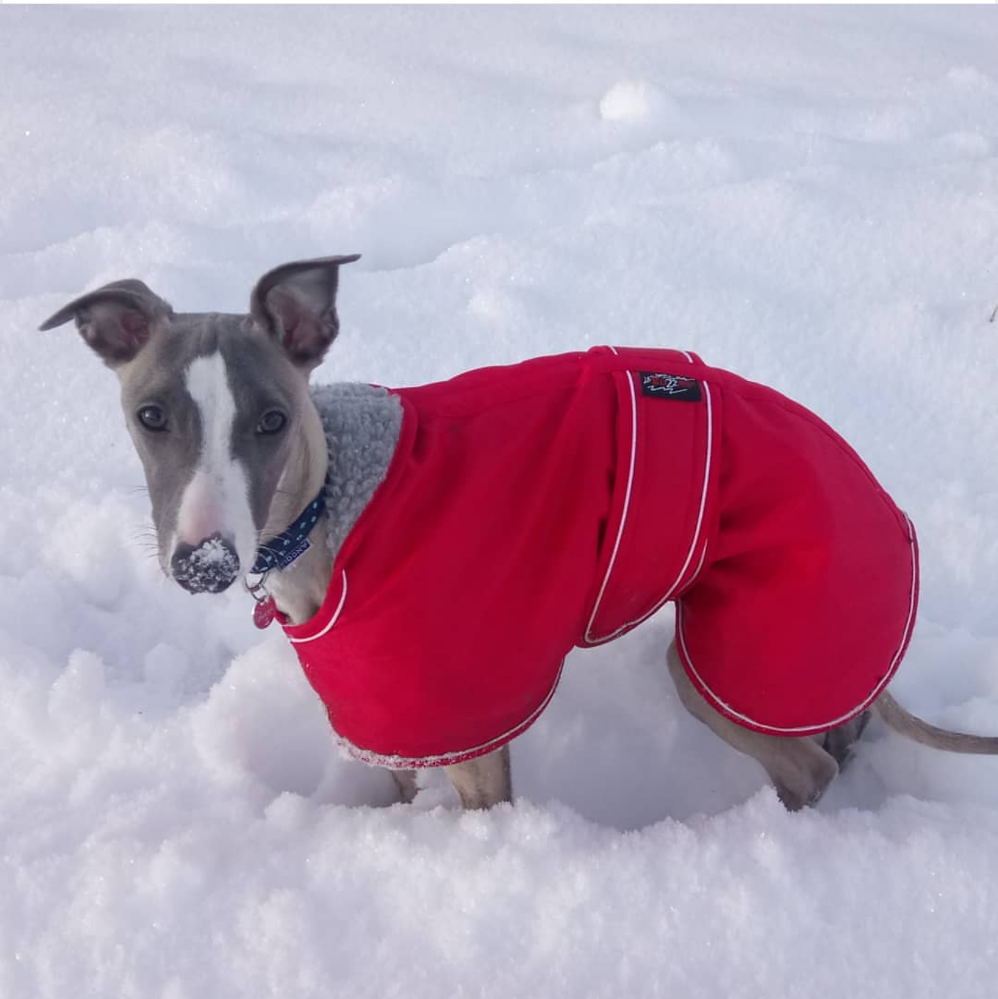 Pointy Faces Whippet Winter Coat