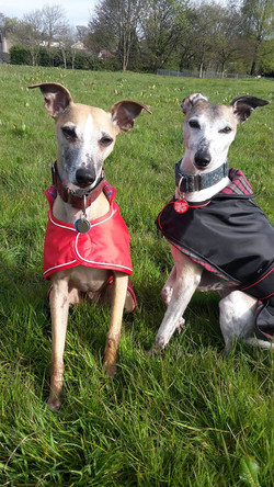 Pointy Faces Whippet Raincoats