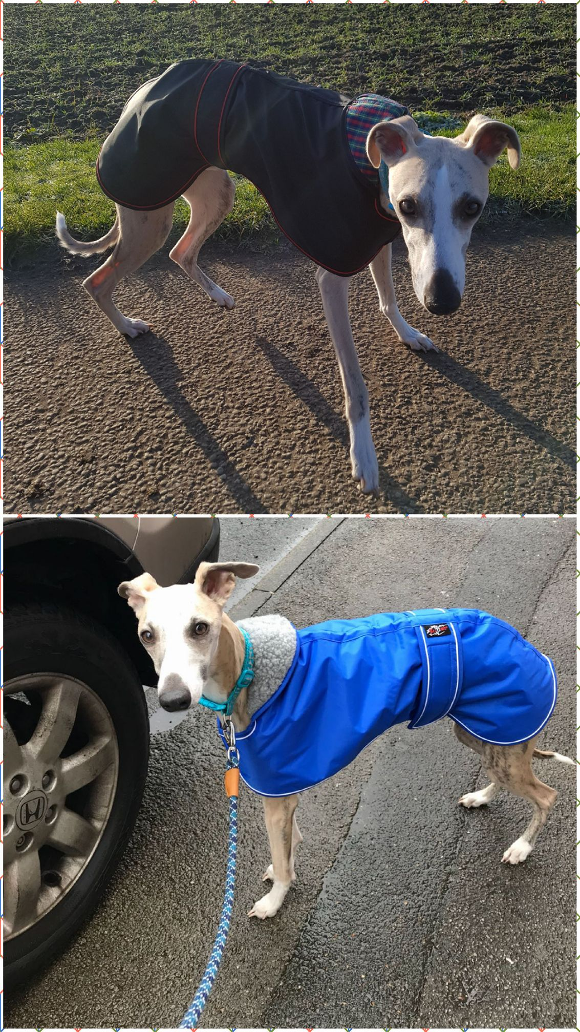 Pointy Faces Winter and Raincoat Whippet