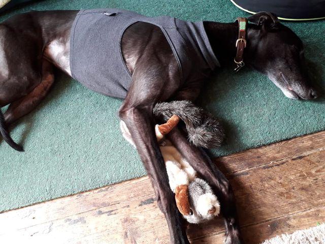 Greyhound Under Vest