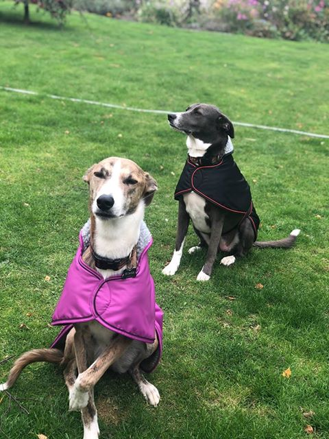 Pointy Faces Lurcher Sighthound Coats Fl