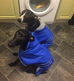 Whippet and Lurcher Winter Coats Blue by