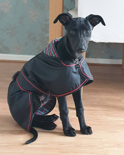 Pointy Faces Whippet Coat black