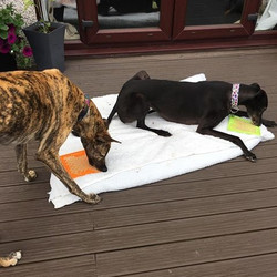 Enrichment toys for greyhounds
