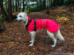 Sighthound_Lurcher_Raincoat-Water_Proof_
