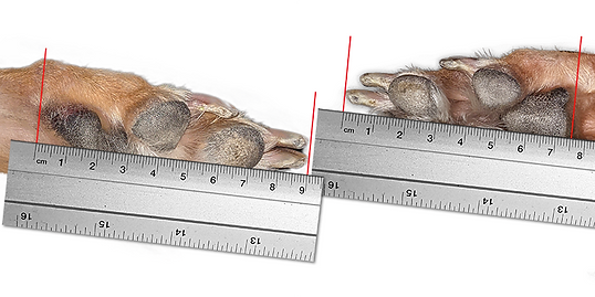 Hunnyboots How to Measure front and back paw with ruler.png