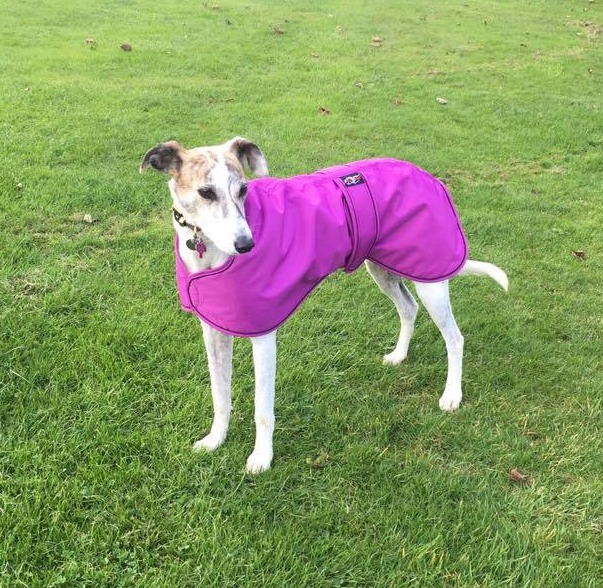 Pointy-Faces-Lurcher-winter-coat-cerise-Elsa_edited