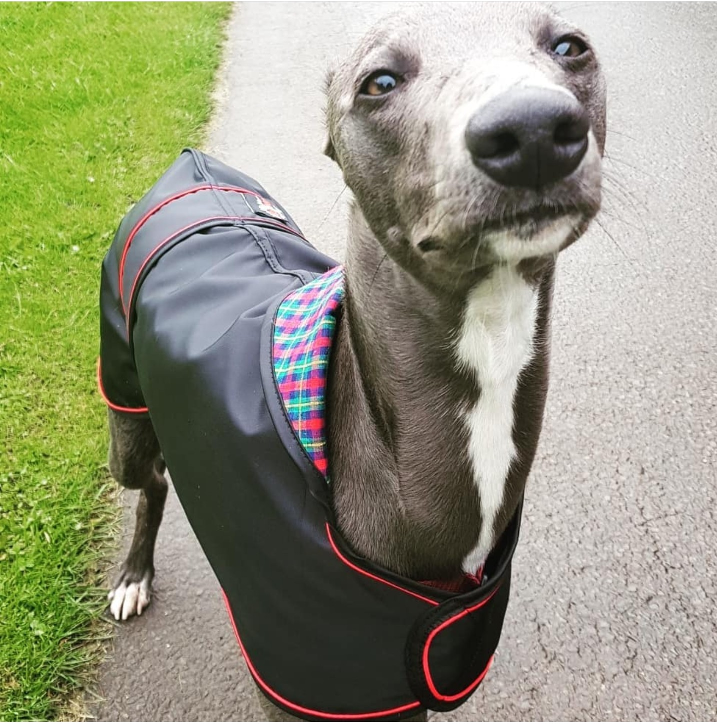 Pointy Faces Whippet Raincoat Ralph