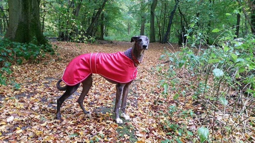 Pointy Faces Lurcher Greyhound Sighthoun