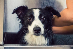 Organic and Natural Dog Shampoo